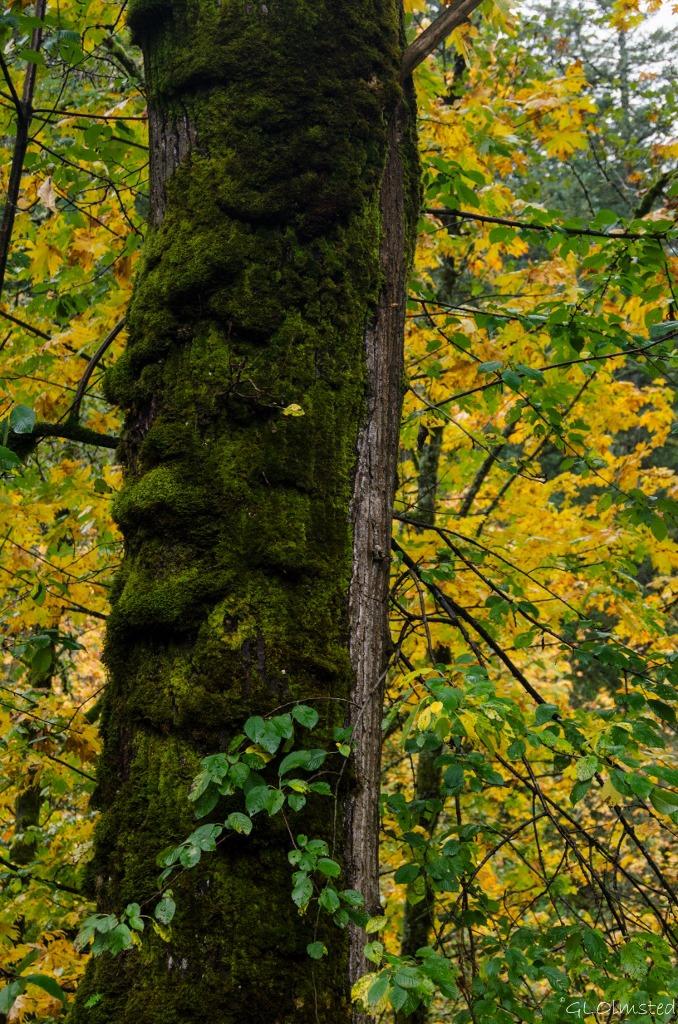 Moss on tree & fall colors Columbia River Gorge Oregon
