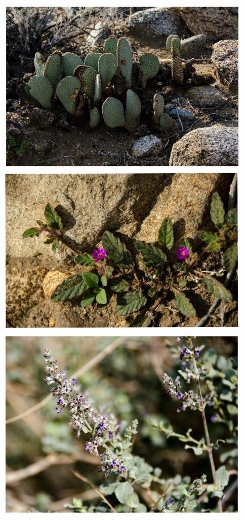 Beavertail cactus, unknown & desert lavender bush Palm Canyon trail Anza-Borrego Desert State Park California