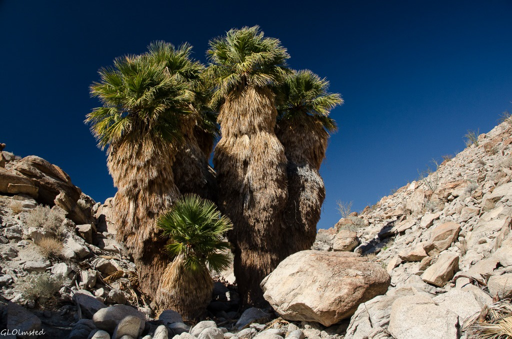 Arch in palm grove Mt Palm Springs Anza-Borrego Desert State Park California