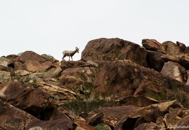 Bighorn Sheep Palm Canyon trail Anza-Borrego Desert State Park California