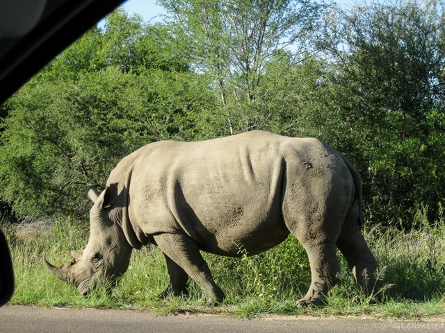 White Rhino Kruger National Park South Africa