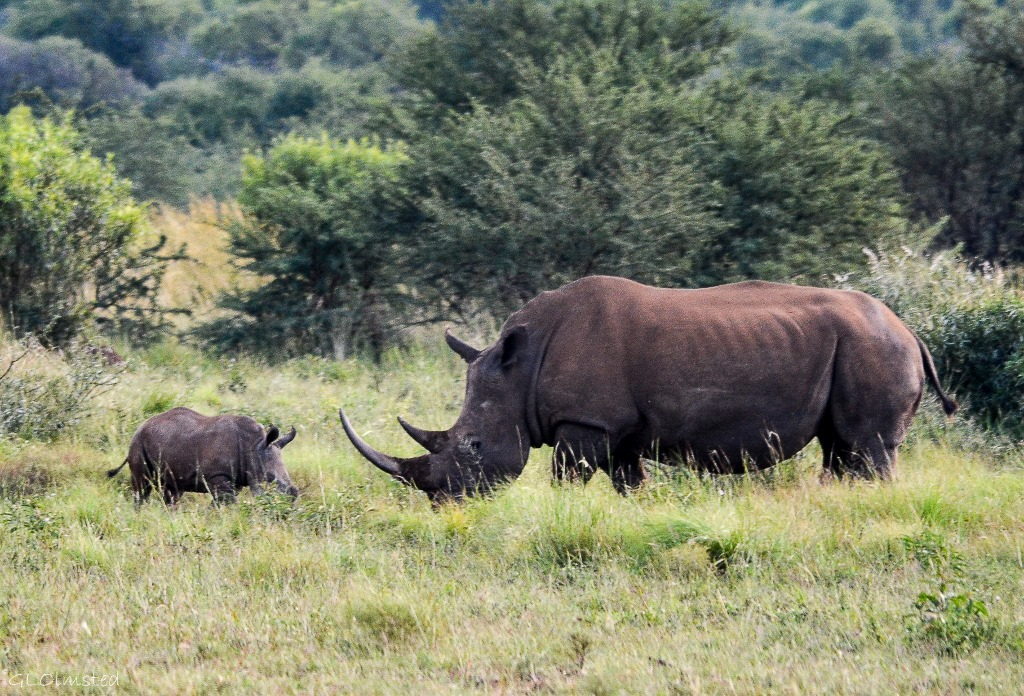 White Rhinos Pilanesberg Game Reserve South Africa