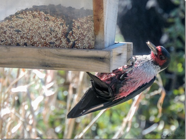 Lewis' Woodpecker on feeder Yarnell Arizona