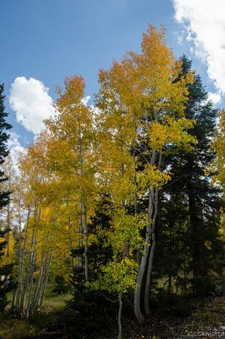 Fall aspen Kaibab National Forest Arizona