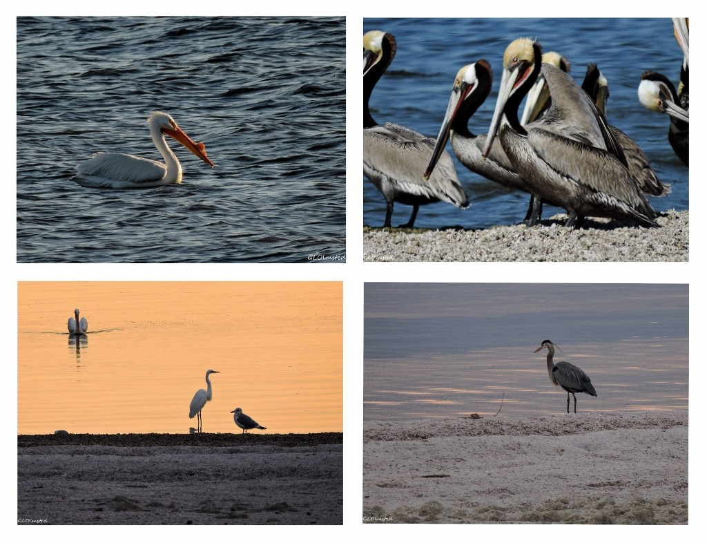 White pelican, brown pelicans, great blue heron & great egret Corvina Beach Salton Sea SRA California