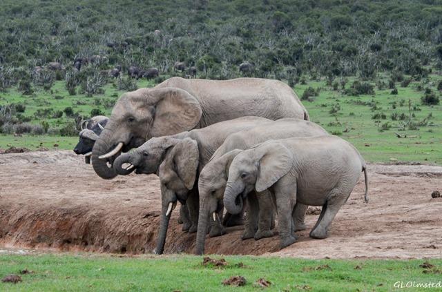 Elephants at waterhole Addo Elephant National Park South Africa
