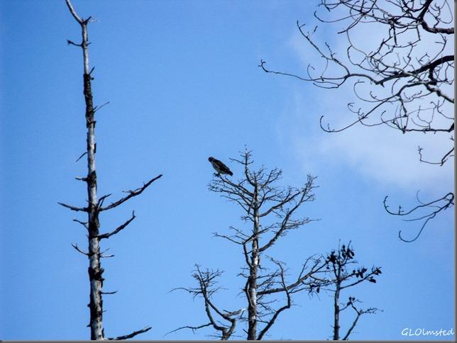 Swainson's Hawk in tree along SR67 Kaibab National Forest Arizona