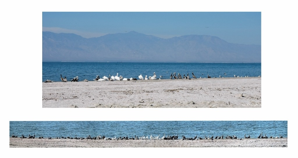 Brown & white pelicans & gulls Corvina Beach Salton Sea SRA California