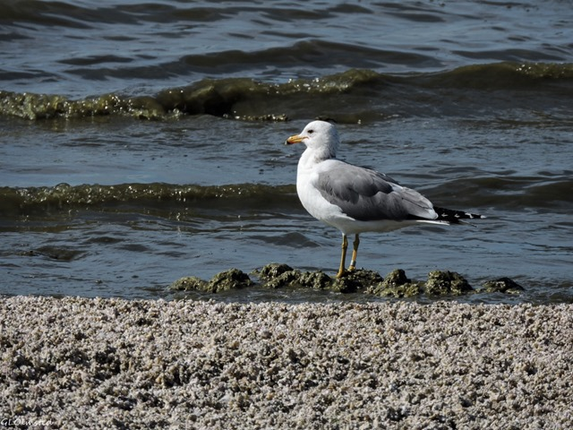 Gull Corvina Beach Salton Sea SRA California
