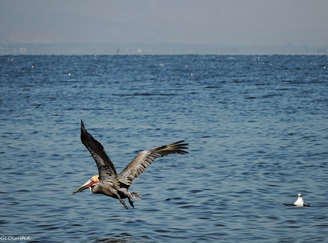 Brown pelican & gull Corvina Beach Salton Sea SRA California