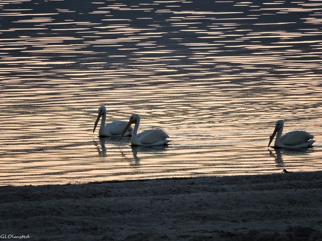 White pelicans on sunset water Corvina Beach Salton Sea SRA California