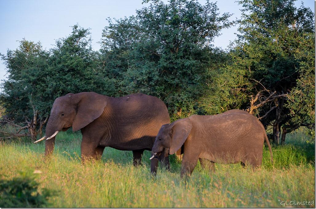 Elephants Kruger National Park South Africa