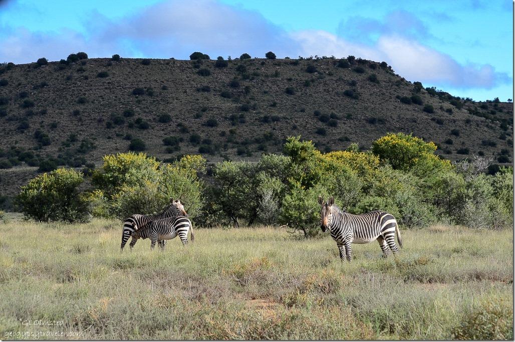 Mountain Zebras Mountain Zebra National Park South Africa