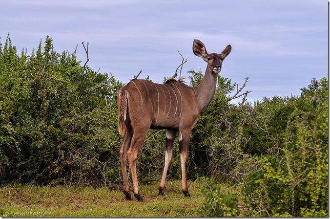 Kudu Addo Elephant National Park South Africa