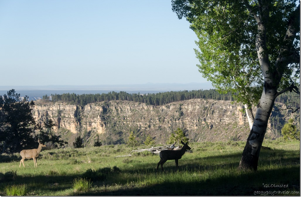 Mule deer along Transept Canyon rim from RV North Rim Grand Canyon National Park Arizona