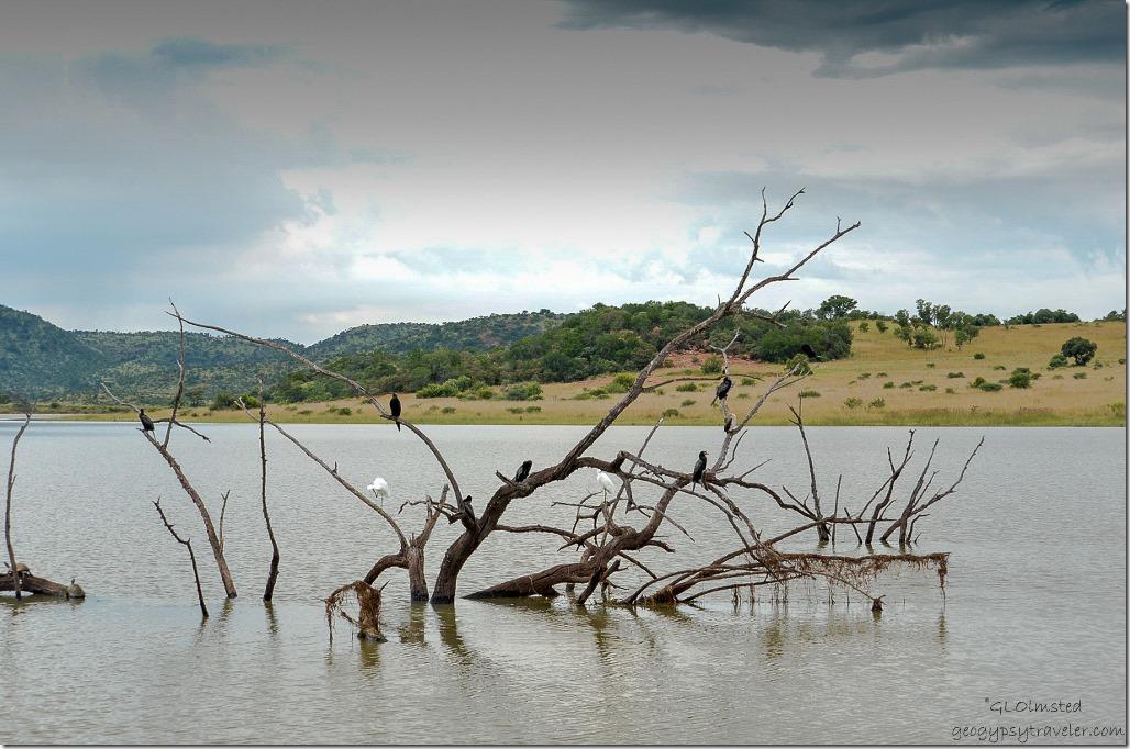 Egret & Cormorants on snag in Mankwe Dam Pilanesberg Game Reserve South Africa