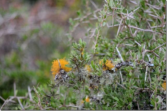 Flowering lichen Addo Elephant National Park South Africa
