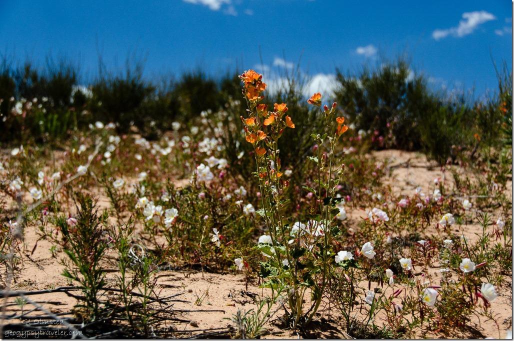 Wildflowers White Pocket Vermilion Cliffs National Monument Arizona