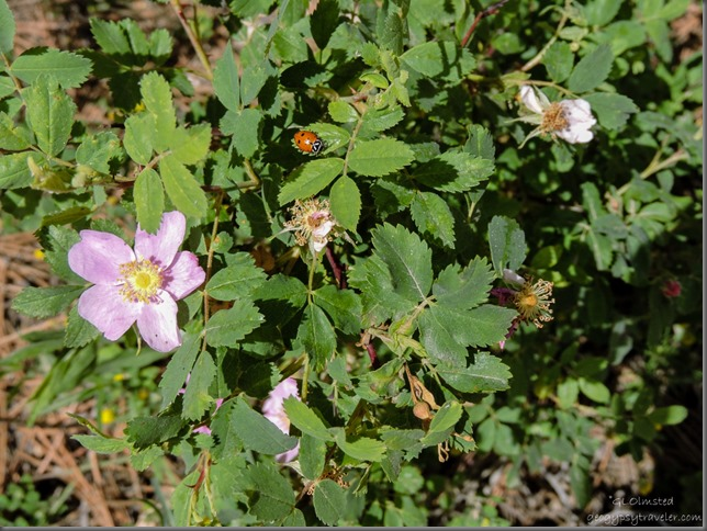 Ladybug & wild roses FR22 Kaibab National Forest Arizona