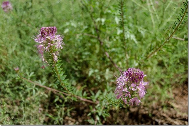 Bee plant Upper Buckskin Gulch Paria Canyon/Vermilion Cliffs Wilderness area Utah