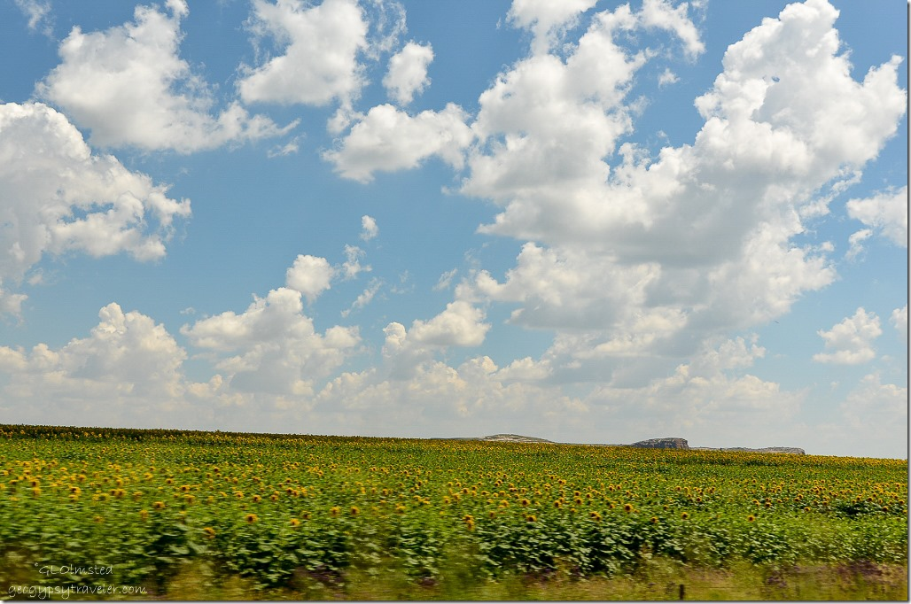 Fields of sunflowers R26 Free State South Africa