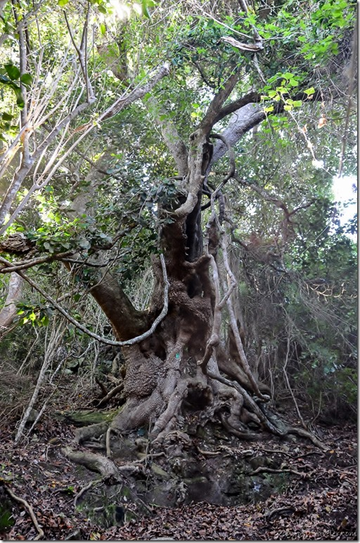 Gnarly tree along Suspension Bridge trail at Storms River Mouth Tsitsikamma National Park South Africa