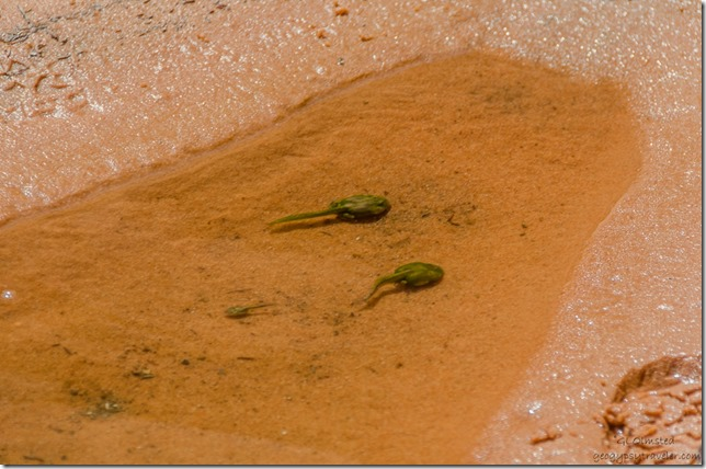 Tadpoles Paria Canyon-Vermilion Cliffs Wilderness Arizona