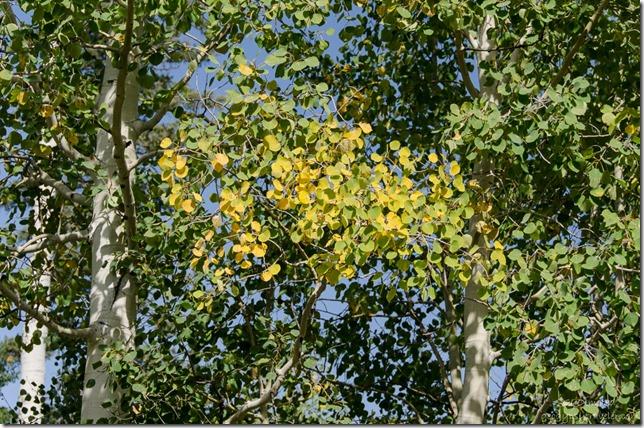 Fall aspen on the Kaibab National Forest Arizona