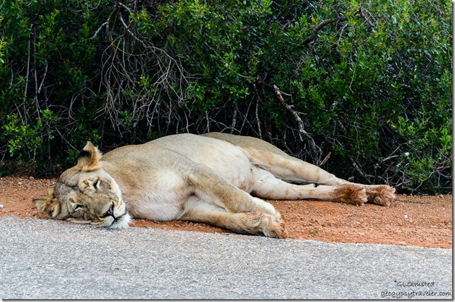 Collared lioness by road Addo Elephant National Park South Africa