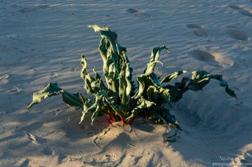 Unidentified plant Kelso Dunes Mojave National Preserve California