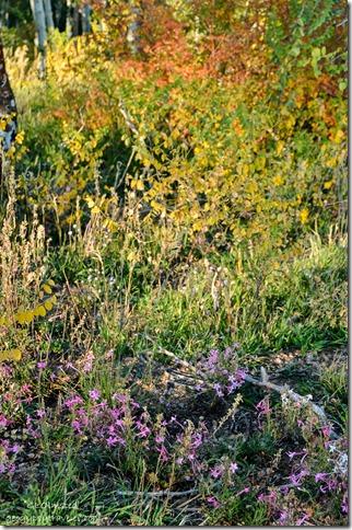 Penstemon & wild rose along Saddle Mountain trail Kaibab National Forest Arizona