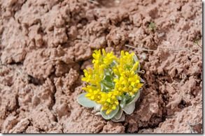 Unidentified yellow flower K-Hill trail Kanab Utah