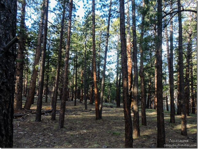 Morning light in forest from RV North Rim Grand Canyon National Park Arizona