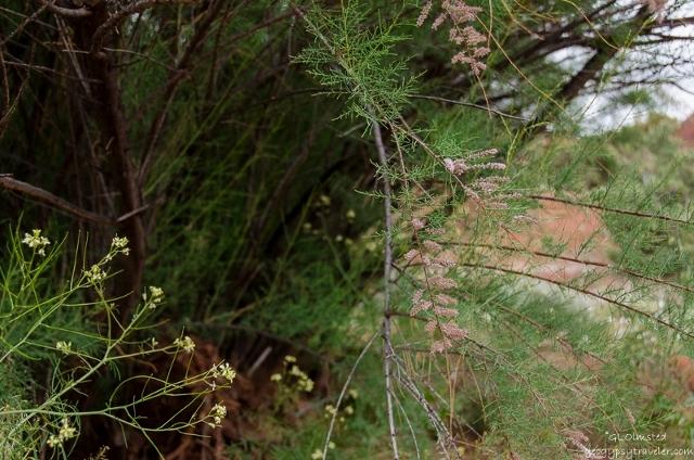 03ss DSC_5536hdrlerw Unidentified yellow flowers & Tamarisk Bunting Trail Kanab UT g-HDR-2 (800x530) (640x424)