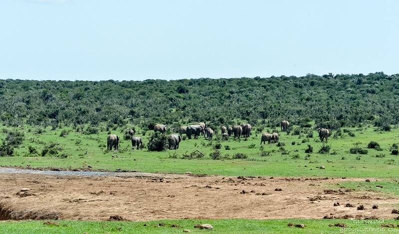 04s DSC_7772clerw Elephants Addo Elephant NP SA fff164-2 (800x470)