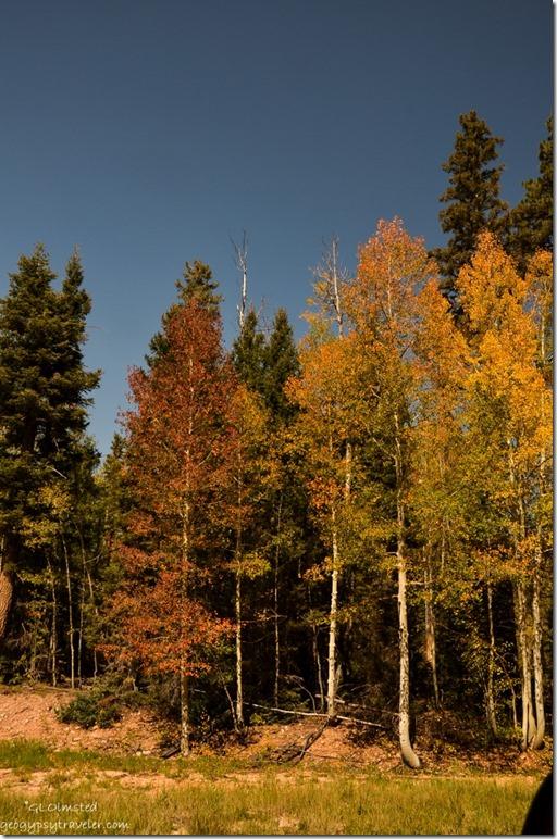 Fall color FR610 E Kaibab National Forest Arizona