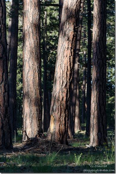 Light on trees Kaibab National Forest Arizona