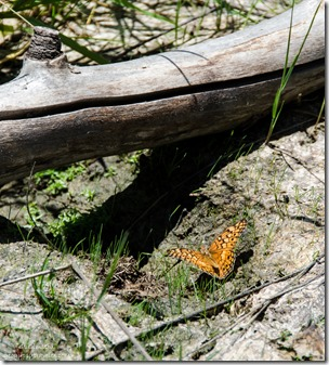 Fritillary Greenland Lake North Rim Grand Canyon National Park Arizona