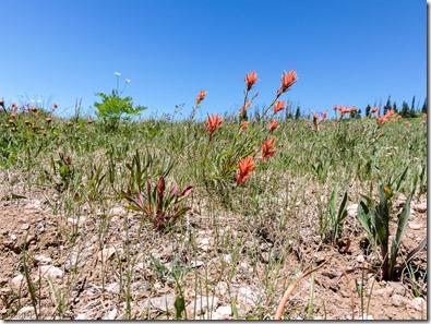 Scarlet Paintbrush Cedar Breaks National Monument Utah