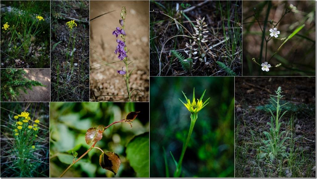Wildflowers along Widforss Trail North Rim Grand Canyon National Park Arizona