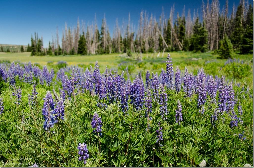 Lupines Cedar Breaks National Monument Utah