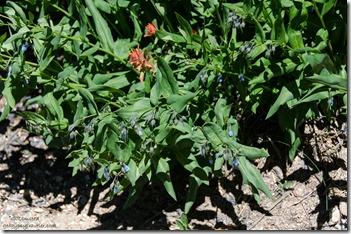 Aspen Bluebells & Scarlet Paintbrush Cedar Breaks National Monument Utah
