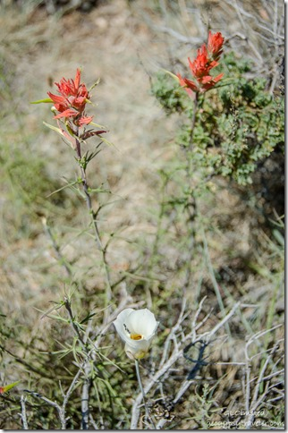 Sego Lily & Indian Paintbrush Cape Royal trail North Rim Grand Canyon National Park Arizona