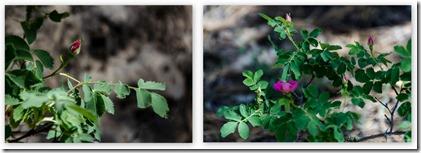 Wild roses Widforss Trail North Rim Grand Canyon National Park Arizona