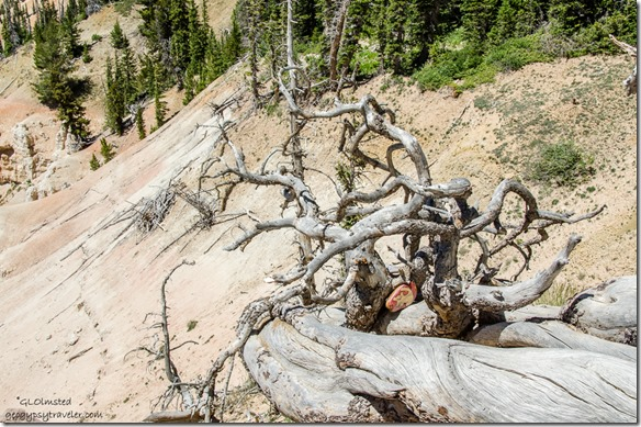 Painted rock in root wad Chessman Ridge Overlook Cedar Breaks National Monument Utah