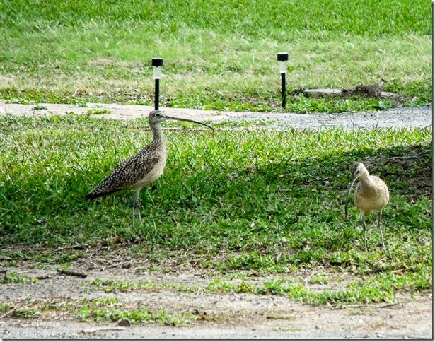 Long-billed curlews San Benito Texas