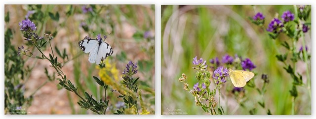 White-Skipper & Cloudless Sulphur on lupine FR415 Kaibab National Forest Arizona