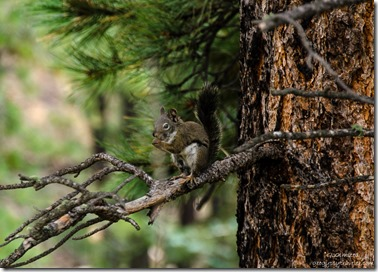 Tree squirrel Point Imperial Road North Rim Grand Canyon National Park Arizona