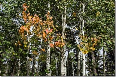 Fall Aspen Kaibab Kaibab National Forest Arizona