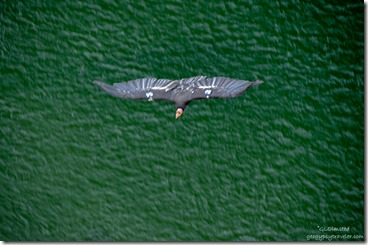 Condor 54 soaring Navajo Bridge Marble Canyon Arizona